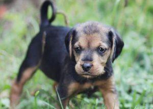 Flossie pas za udomljavanje s prijeda slikan