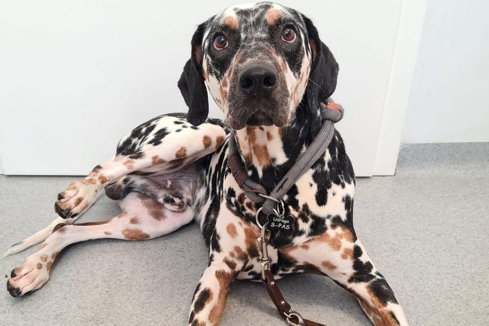 Ares pas za udomljene