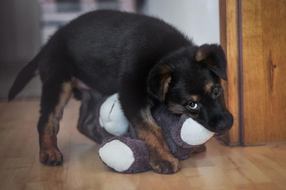 Pepa pas za udomljavanje